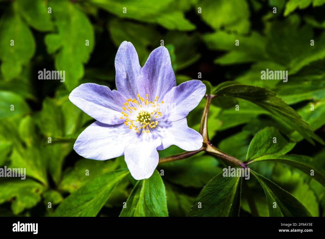 Primer plano de un Anemone (Anemone nemorosa) de madera de flor púrpura en un jardín de primavera del norte de Londres, Londres, Reino Unido Foto de stock