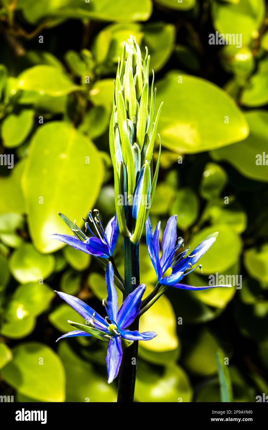 Primer plano de una Camassia leichtlini de flor azul en un jardín de primavera del norte de Londres, Londres, Reino Unido Foto de stock