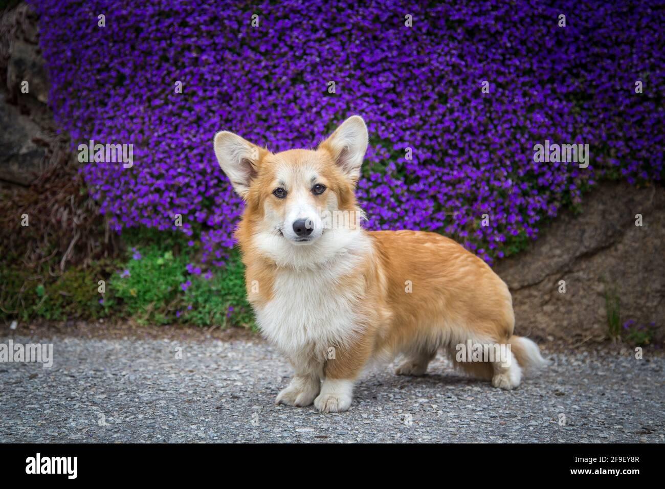 Galesa Corgi Pembroke perro mujer de pie delante de púrpura flores Foto de stock