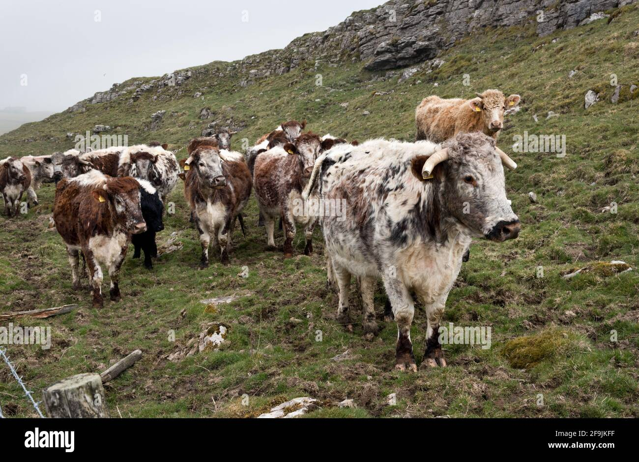 Ganado de Longhorn que pastan cerca de Malham, Yorkshire Dales National Park, Reino Unido Foto de stock