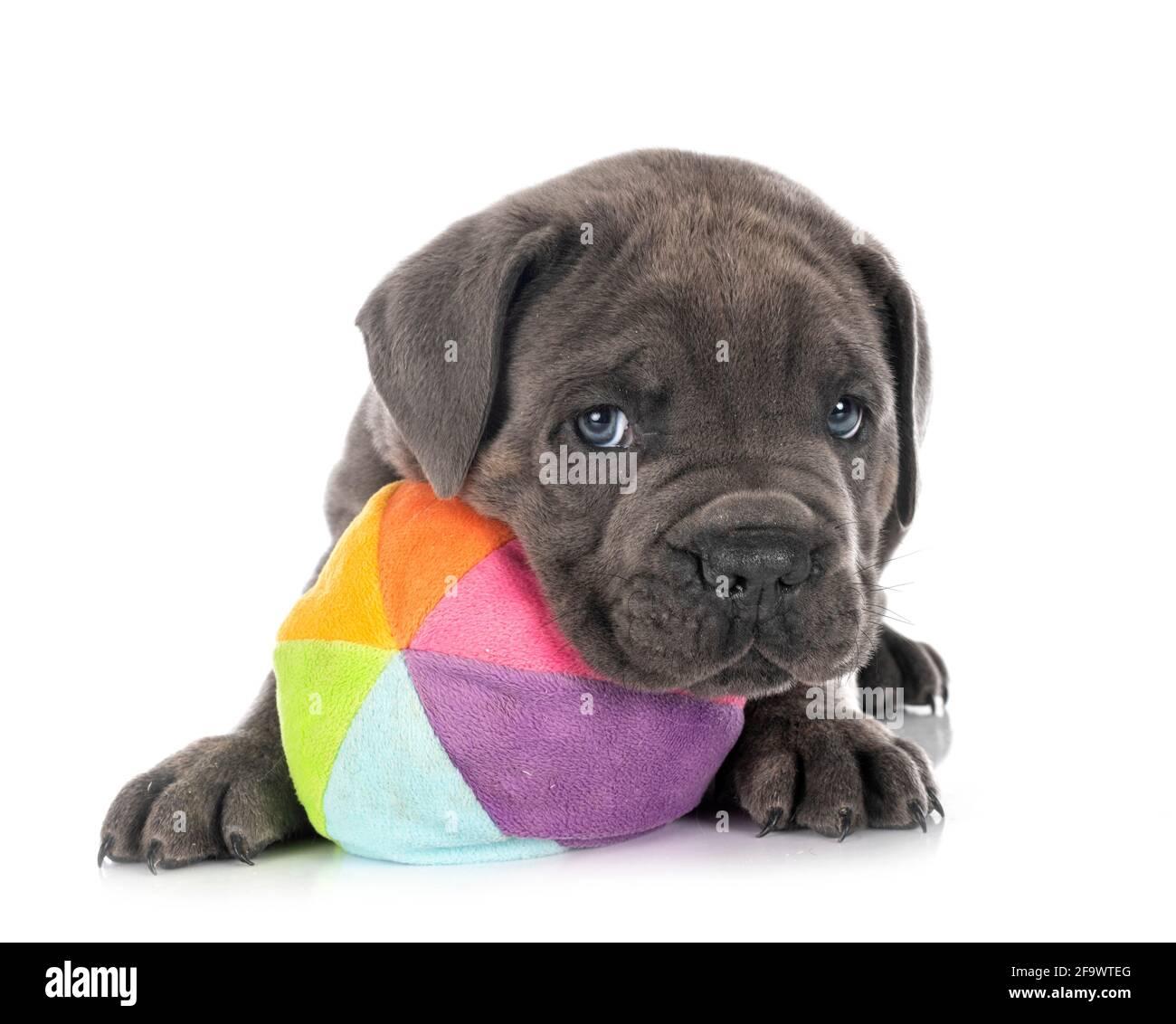 Cachorro napolitano Mastiff delante de fondo blanco Foto de stock