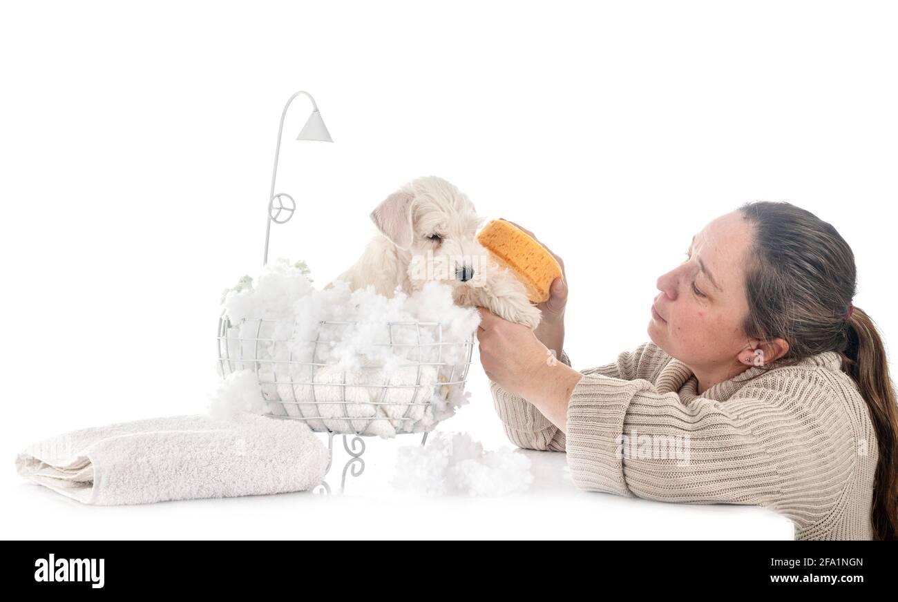 Schnauzer miniatura y una mujer delante de un fondo blanco Foto de stock
