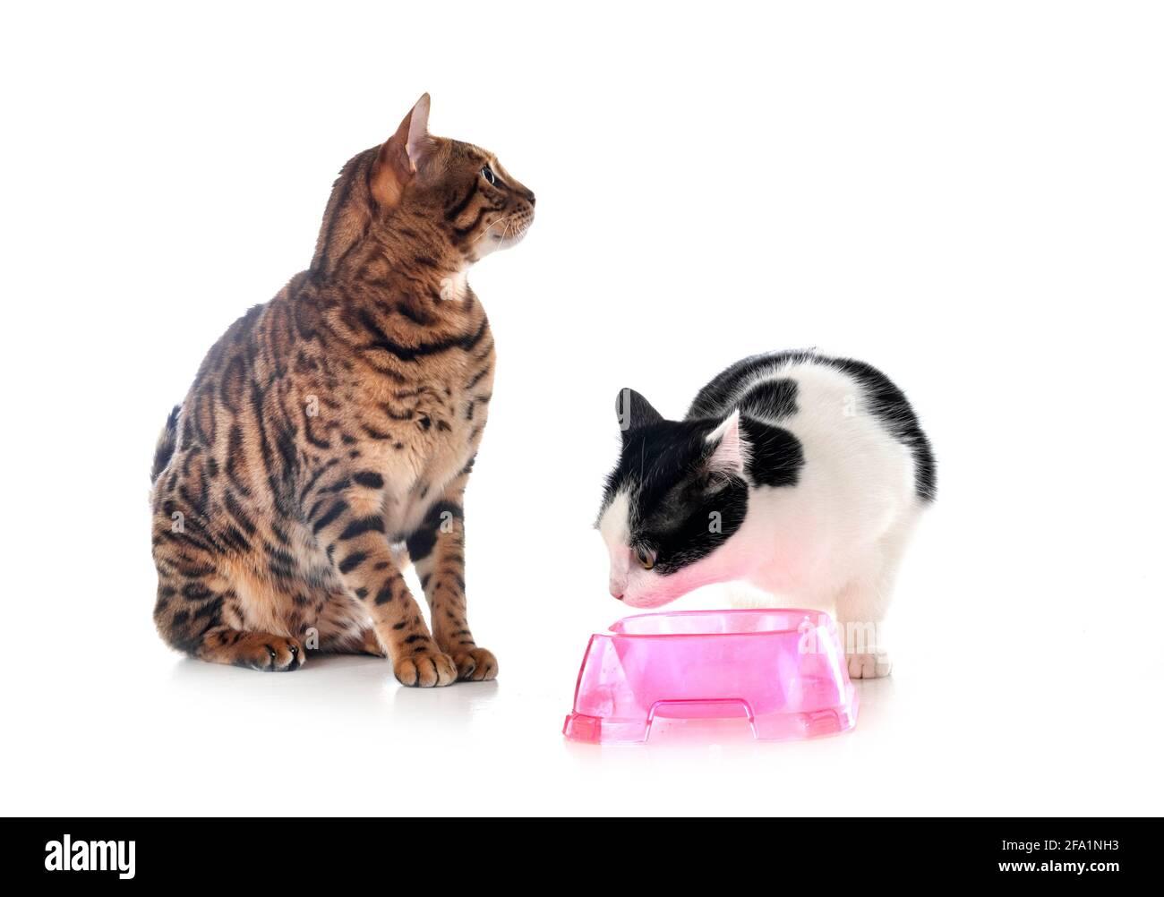 gato feral y gato bengal delante de fondo blanco Foto de stock