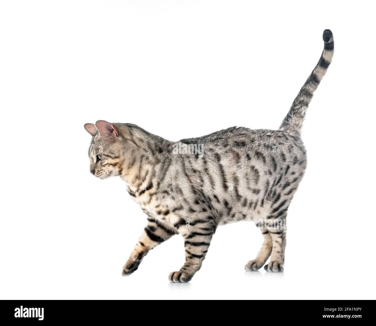 Gato de Bengala en la parte delantera del fondo blanco. Foto de stock