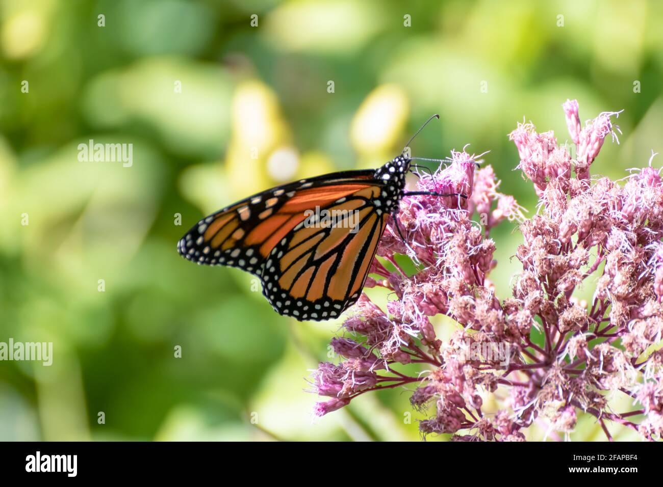Mariposa monarca (Danaus plexippus) alimentándose sobre una flor rosa en un jardín, con un fondo verde borroso Foto de stock