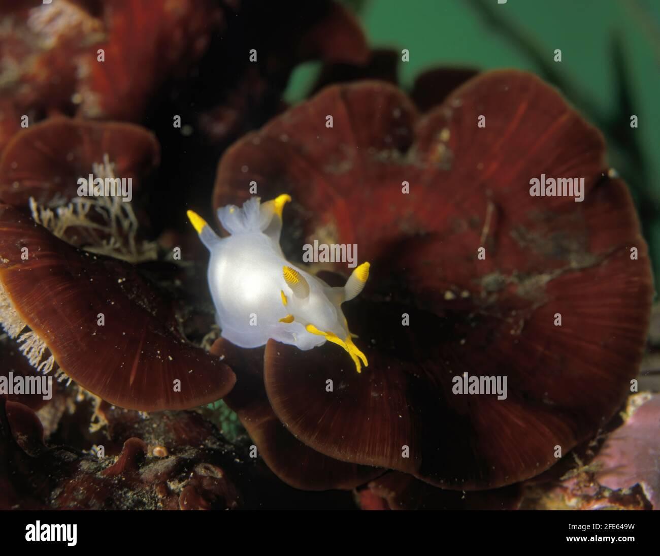 Nudibranch, Polycera faeroensis. Este nudibranch se describe originalmente de las Islas Feroe. En el Atlántico noreste es una especie común en el shal Foto de stock