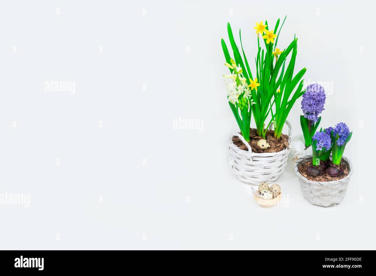 Bandera de Pascua. Hermosos narcisos amarillos con hiacintos azules en cestas y un nido de heno decorativo con huevos de codorniz en su interior. Decoración de mesa de Pascua. Foto de stock