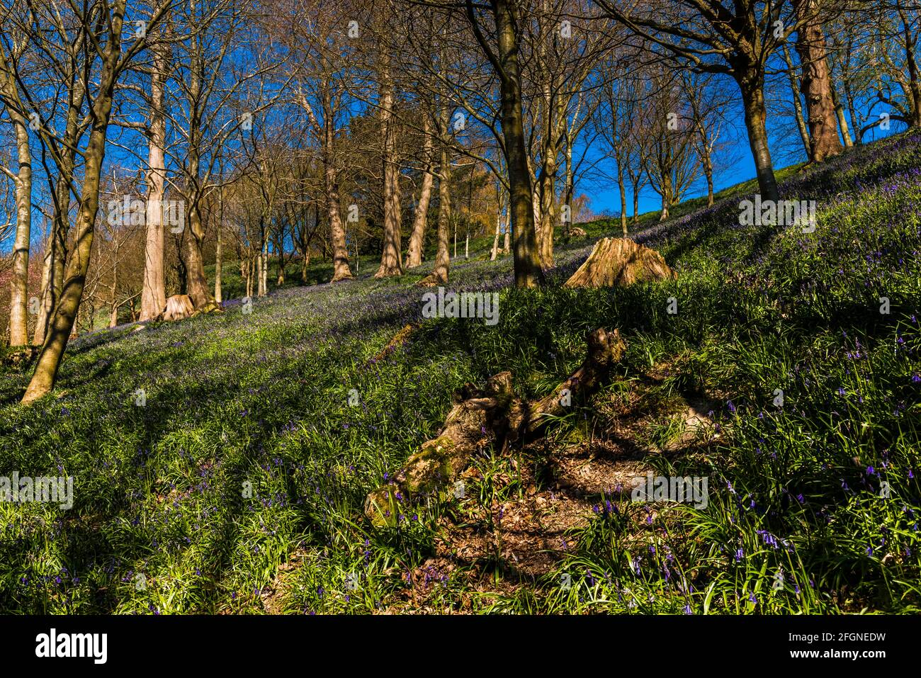 Alfombra de bluebell en madera en primavera, Emmetts Garden, Kent, Reino Unido Foto de stock