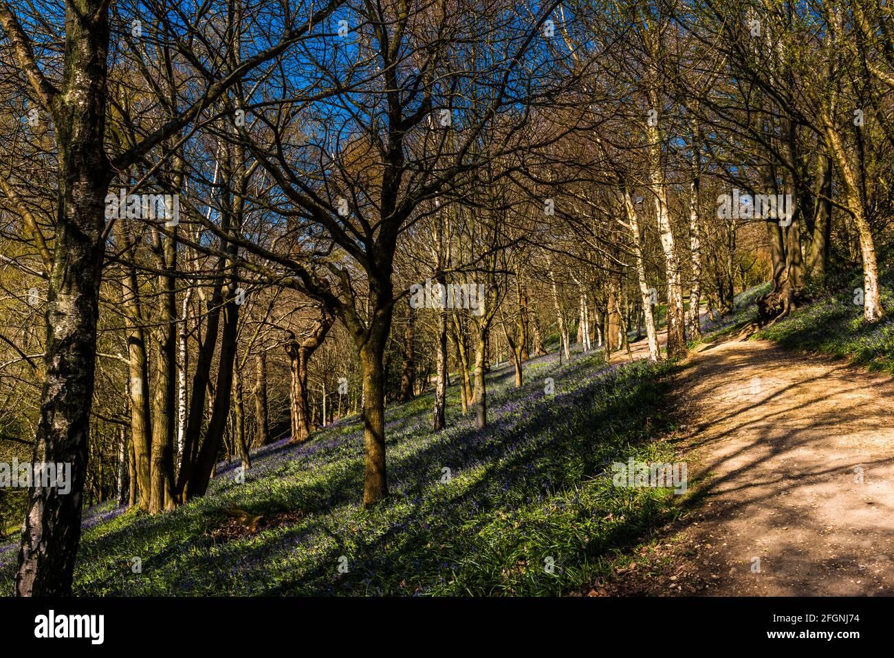 Camino a través de un bosque de cañas en primavera, Emmetts Garden, Kent, Reino Unido Foto de stock