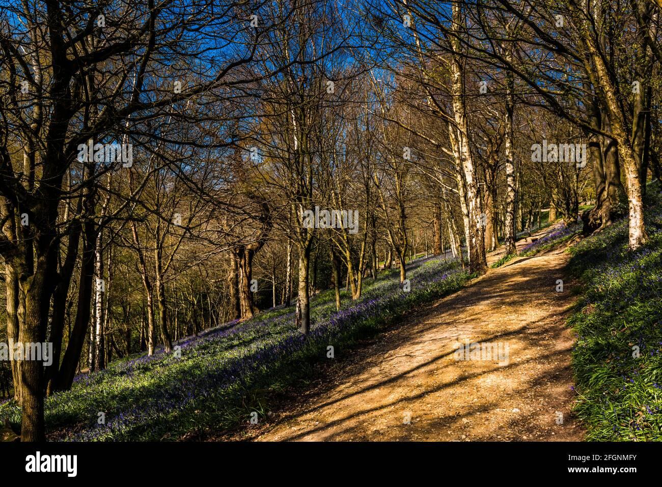 Camino en un bosque de arándanos en primavera, Emmetts Garden, Kent, Reino Unido Foto de stock