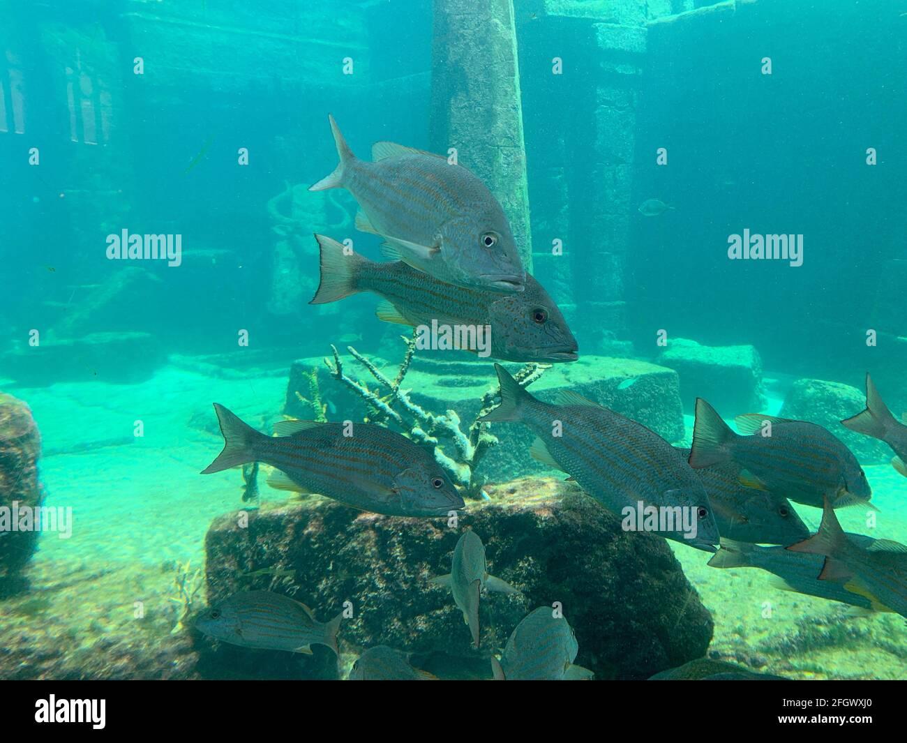 Escuela de Pesca nadando alrededor de ruinas de coral Foto de stock