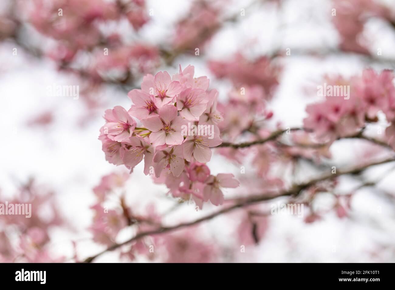 Primer plano de flores de cereza de flor rosa de Prunus Sargentii Sargent En primavera en el Reino Unido Foto de stock