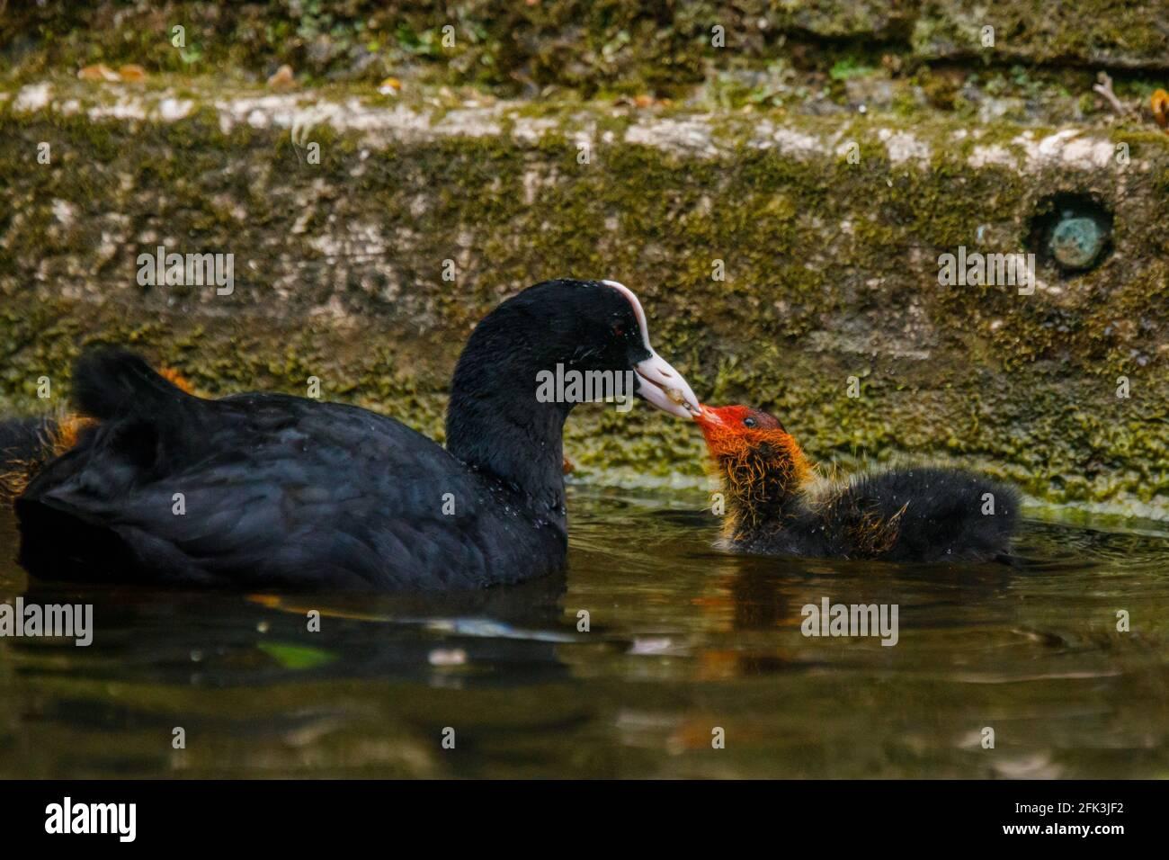 Wapping Canal, Londres, Reino Unido. 28th de abril de 2021. La alimentación de la coota es la cocina del bebé en un canal urbano en Wapping, Londres del este. Amanda Rose/Alamy Foto de stock