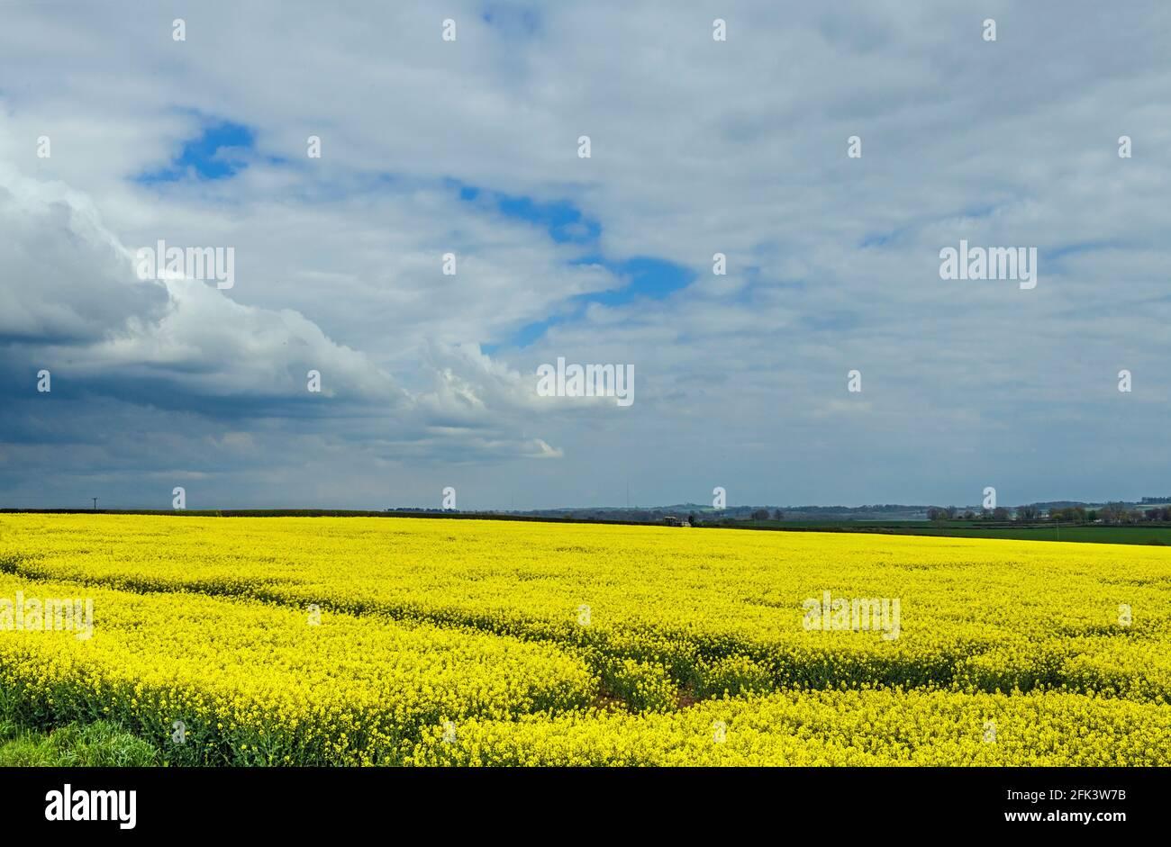 Campo de aceite de colza en el valle de Glamourgan in gales del sur, Reino Unido Foto de stock