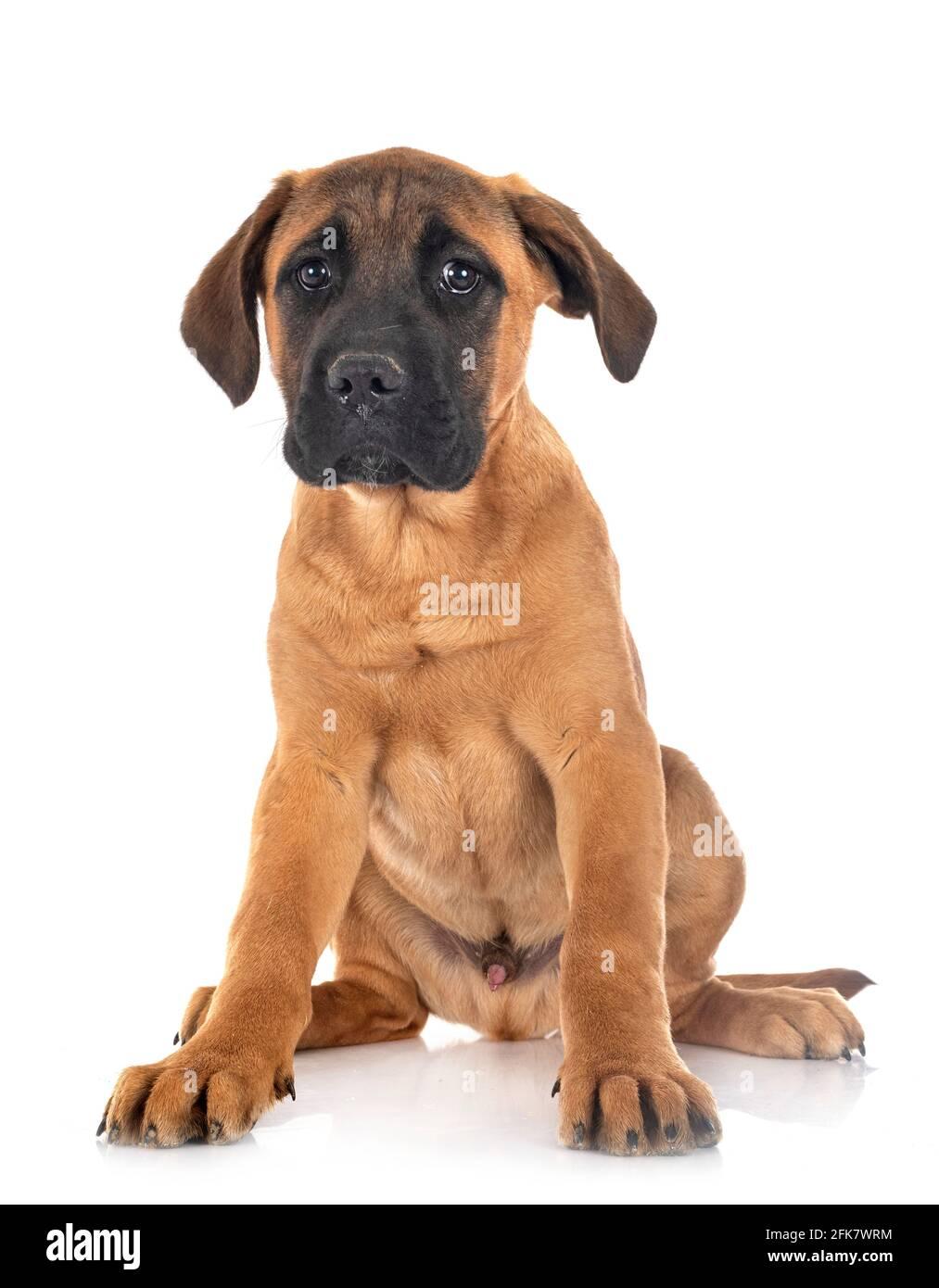 Cachorro mastín italiano delante de un fondo blanco Foto de stock