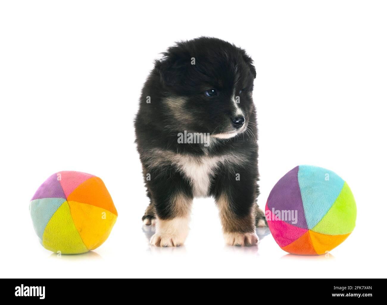Puppy Finnish Lapphund delante de un fondo blanco Foto de stock