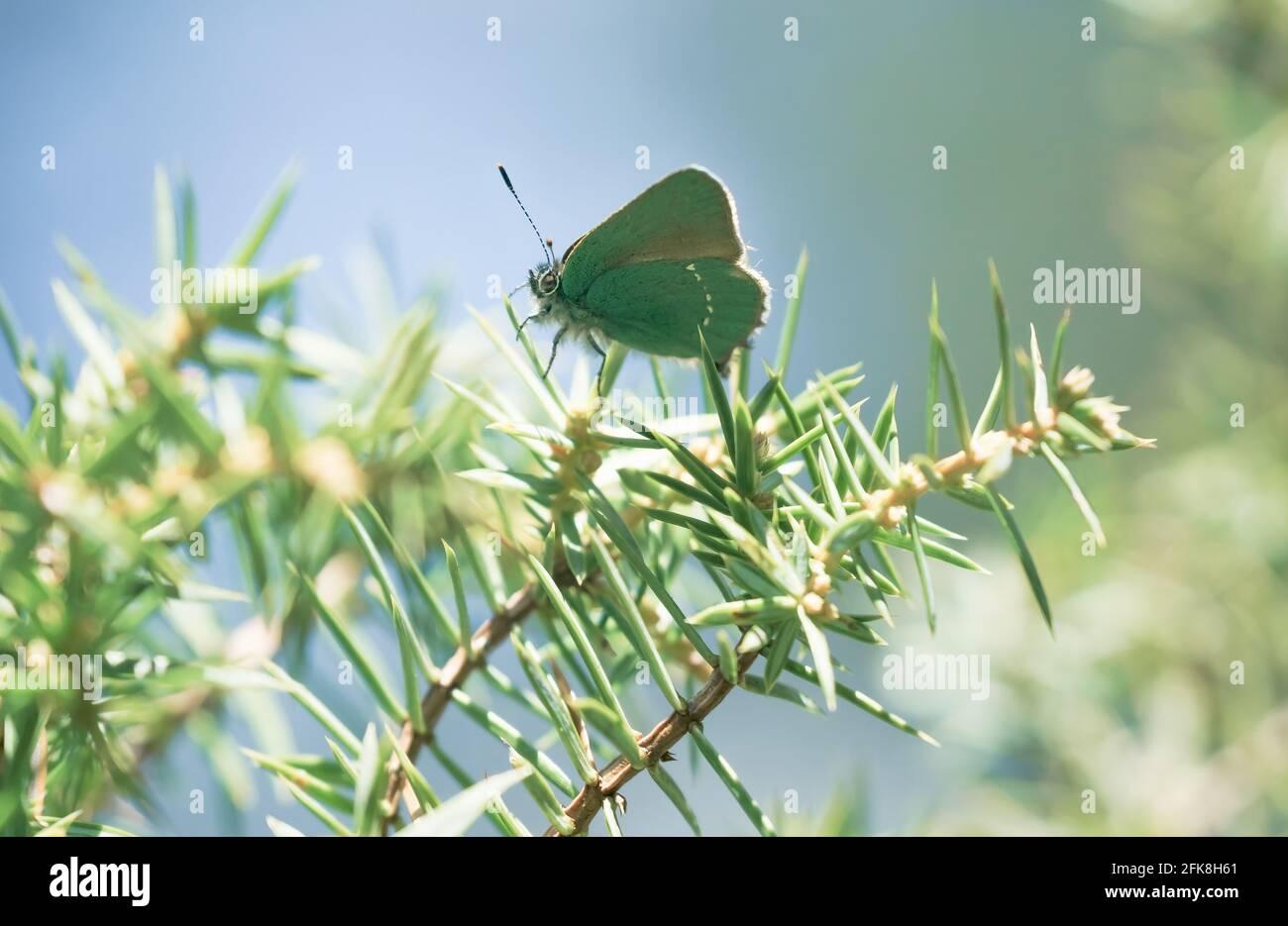 Feliz escena primaveral con cerca de la mariposa verde hairstreak en un bosque siempre verde en un arbusto de enebro, Tirol, Austria Foto de stock