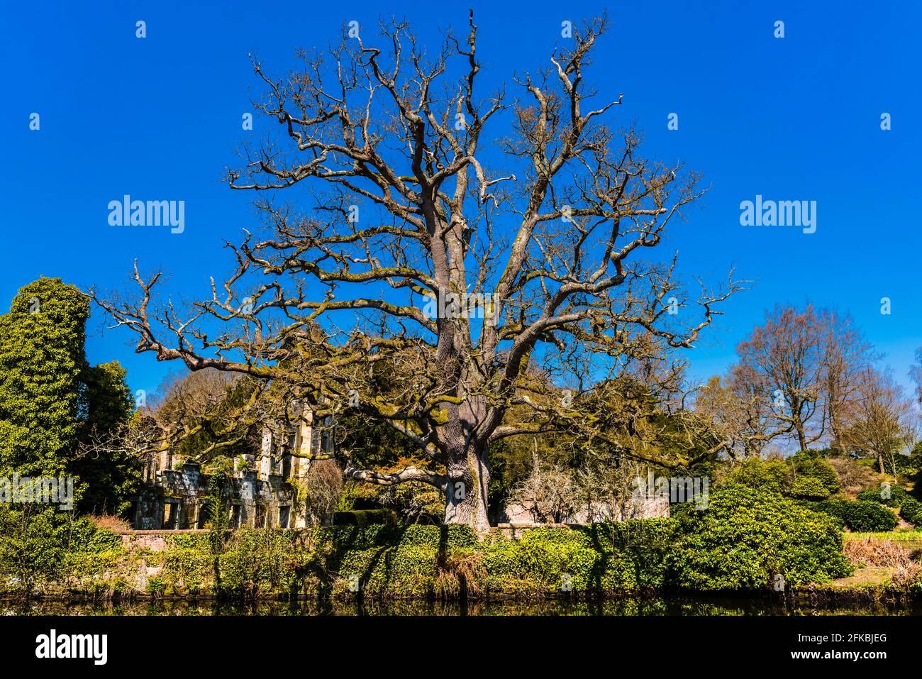 Gran árbol antiguo junto al lago en los terrenos del Castillo Scotney en Kent, Reino Unido Foto de stock