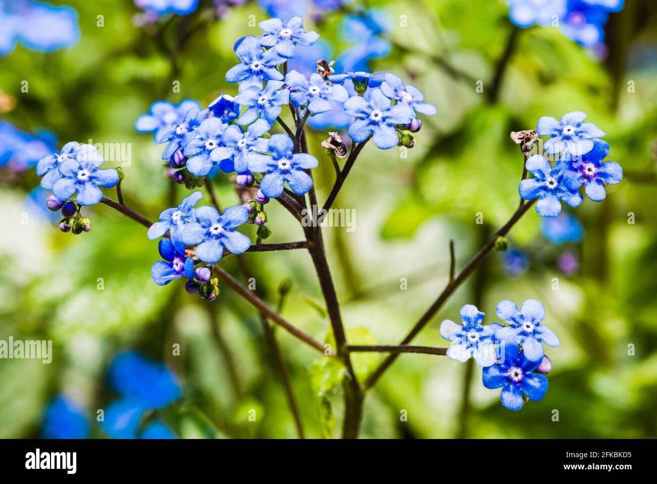 Primer plano de una flor azul (Brunnera macrophylla) en un jardín de primavera del norte de Londres, Londres, Reino Unido Foto de stock