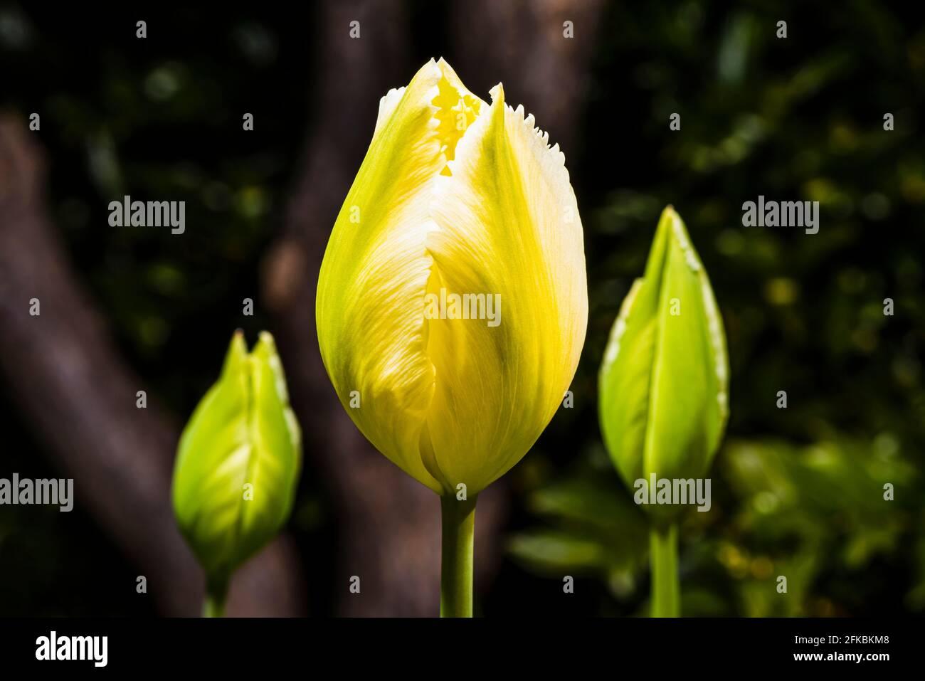 Primer plano de un tulipán amarillo (híbrido Tulipa 'Diamante Rosa') en un jardín de primavera del norte de Londres, Londres, Reino Unido Foto de stock