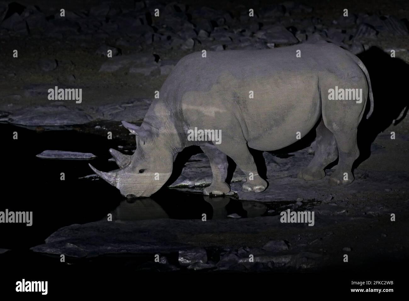 Rinoceronte cerca del agujero de agua, noche en desierto de arena, Parque Nacional Etocha, Namibia, África. Rinocerontes negros o rinocerontes de gancho, Diceros bicornis, en el natu Foto de stock