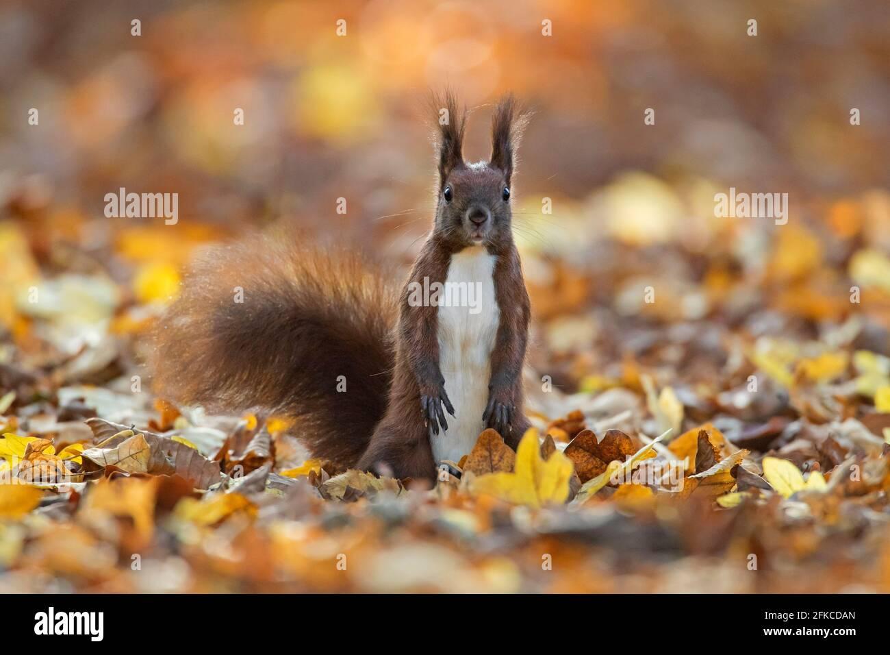 Alerta de ardilla roja euroasiática (Sciurus vulgaris) buscando peligro en el suelo en la basura de hoja el suelo forestal en el bosque de otoño Foto de stock