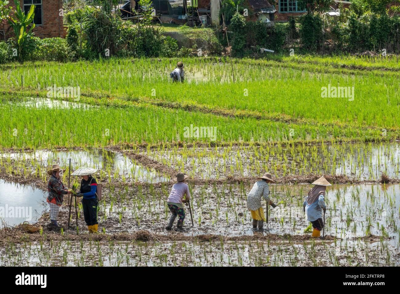Arrozales en Tebedu, Serian, Sarawak, Malasia Oriental Foto de stock