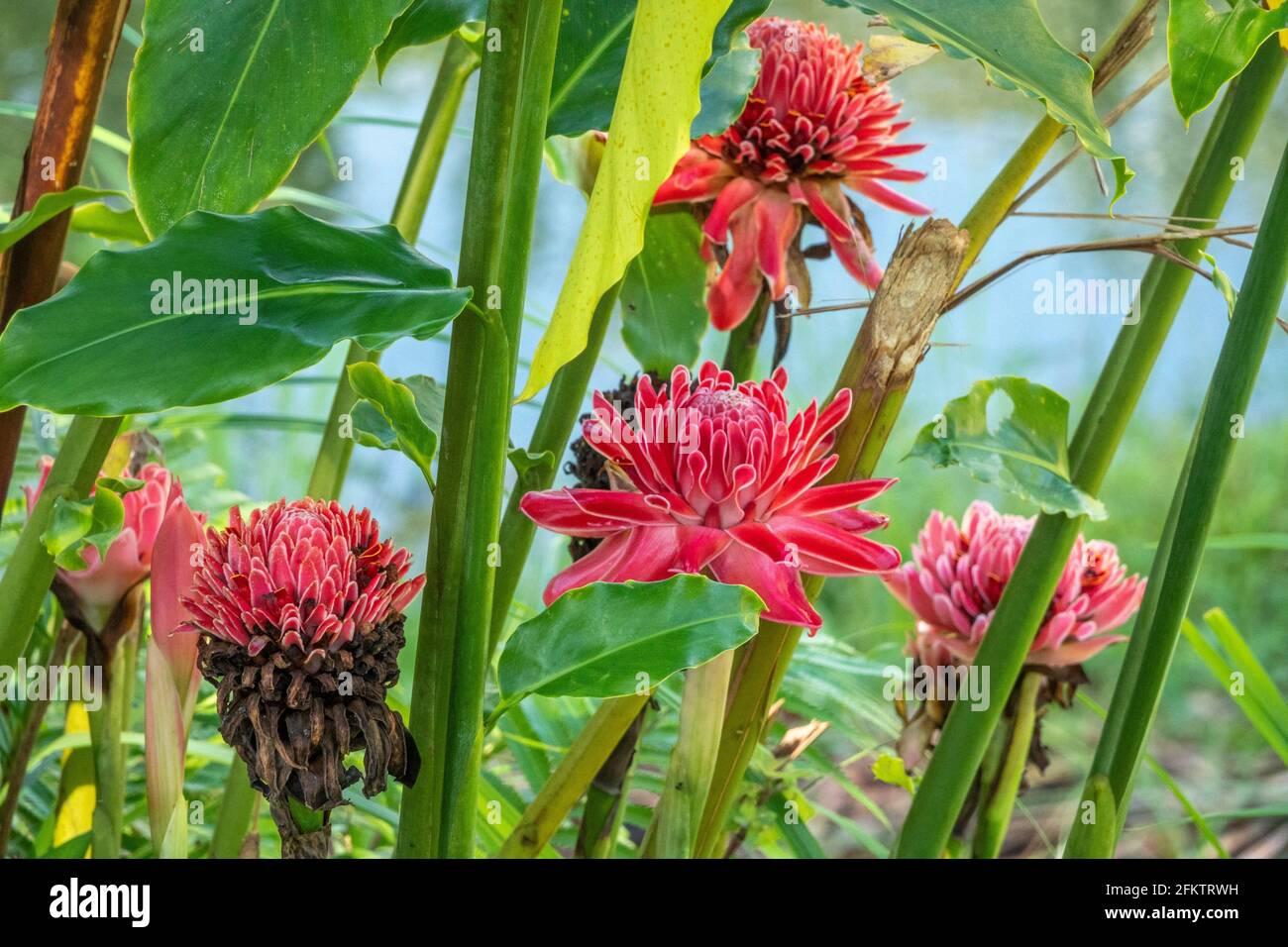 Antorcha roja jengibre (Etlingera elatior) flor, Abba Paradise, Taiton, Bau, Sarawak, Malasia Oriental Foto de stock