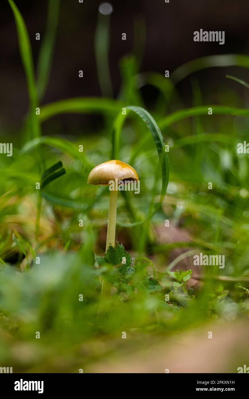 Una sola seta dorada que crece entre los pastos verdes en el suelo del bosque Foto de stock