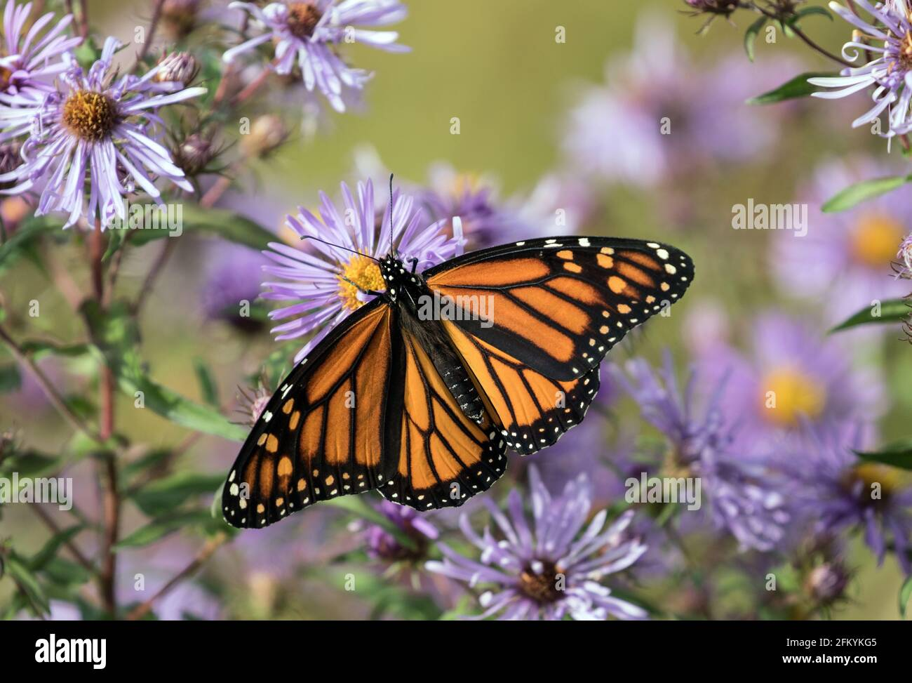 Primer plano de la mariposa monarca con alas abiertas alimentándose del néctar de New England Asters en otoño, Canadá. El nombre científico es Danaus plexippus. Foto de stock