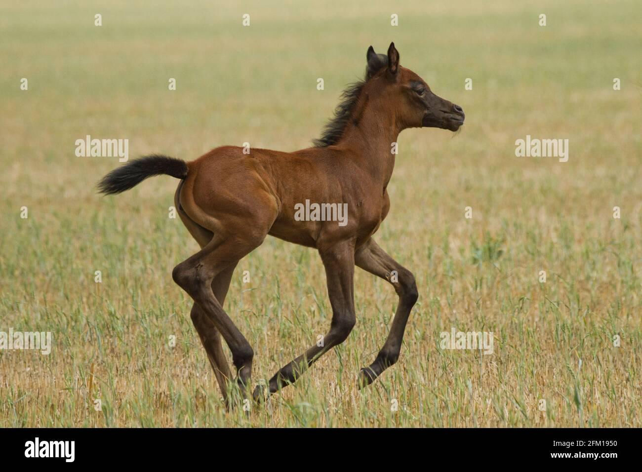 Castaño Arábigo Foal El caballo árabe o árabe es una raza de caballo que se originó en la Península Arábiga. Con una forma distintiva de la cabeza y una t alta Foto de stock