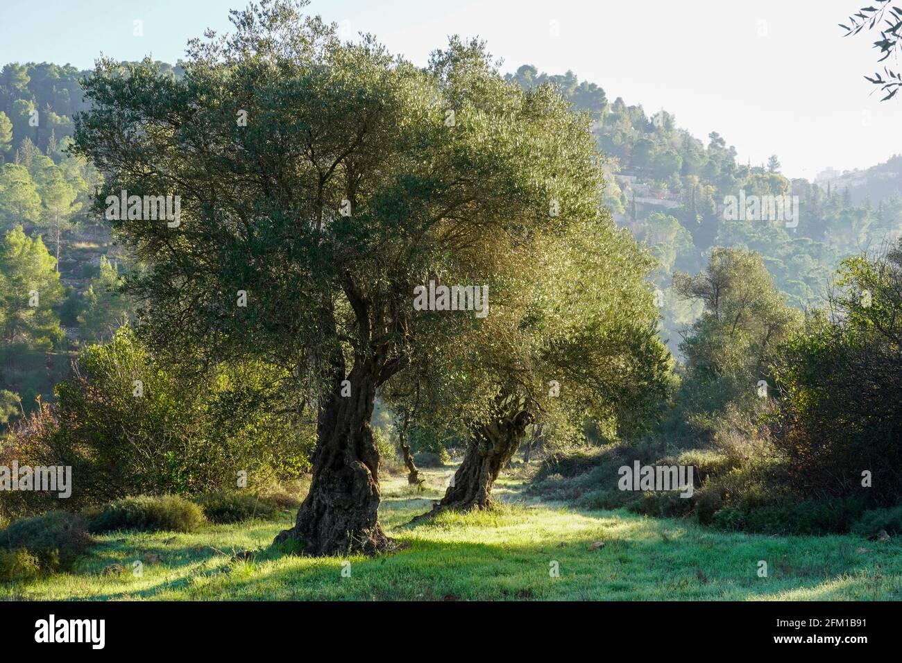 El tronco de un olivo viejo fotografiado en Sataf, Jerusalén, Israel Foto de stock