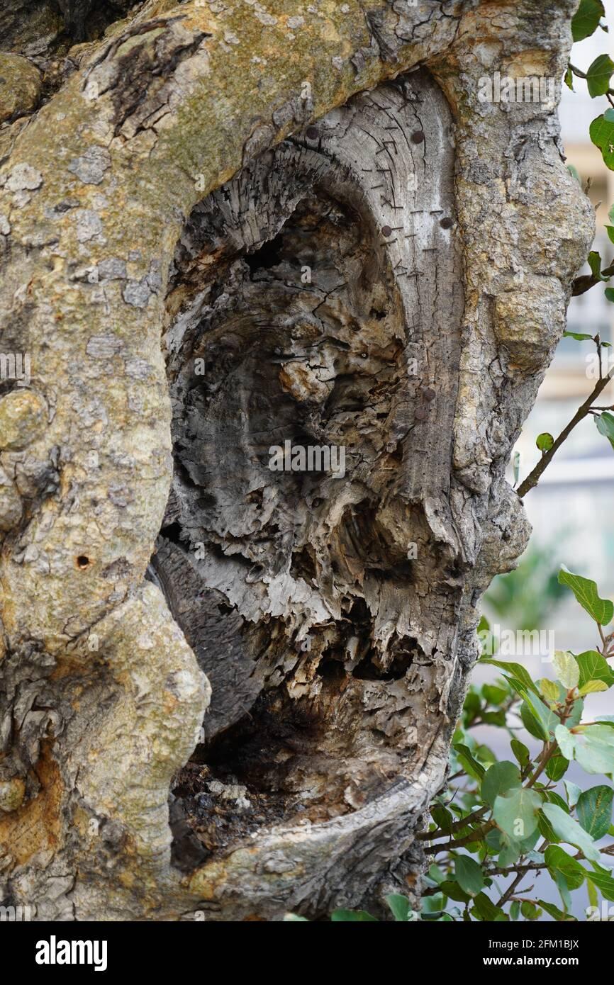El rostro humano se ve en un tronco de árbol natural en crecimiento Pareidolia es la tendencia a la percepción incorrecta de un estímulo como un objeto, patrón o meanina Foto de stock
