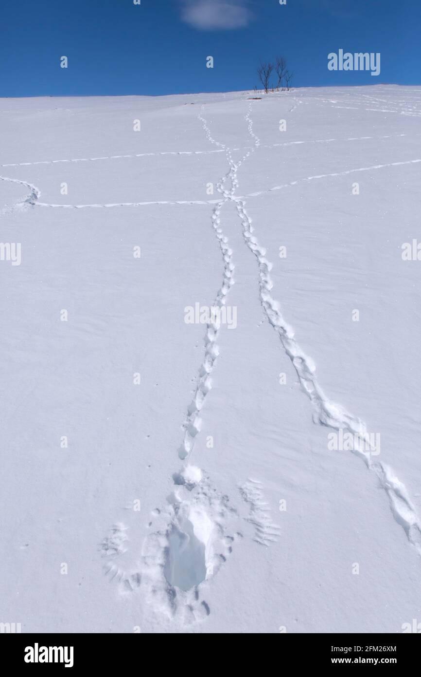 Roca ptarmigan (Lagopus muta / Lagopus mutus) pistas / huellas e impresiones de puntas de ala / puntas de ala de aves despegar en la nieve en invierno Foto de stock