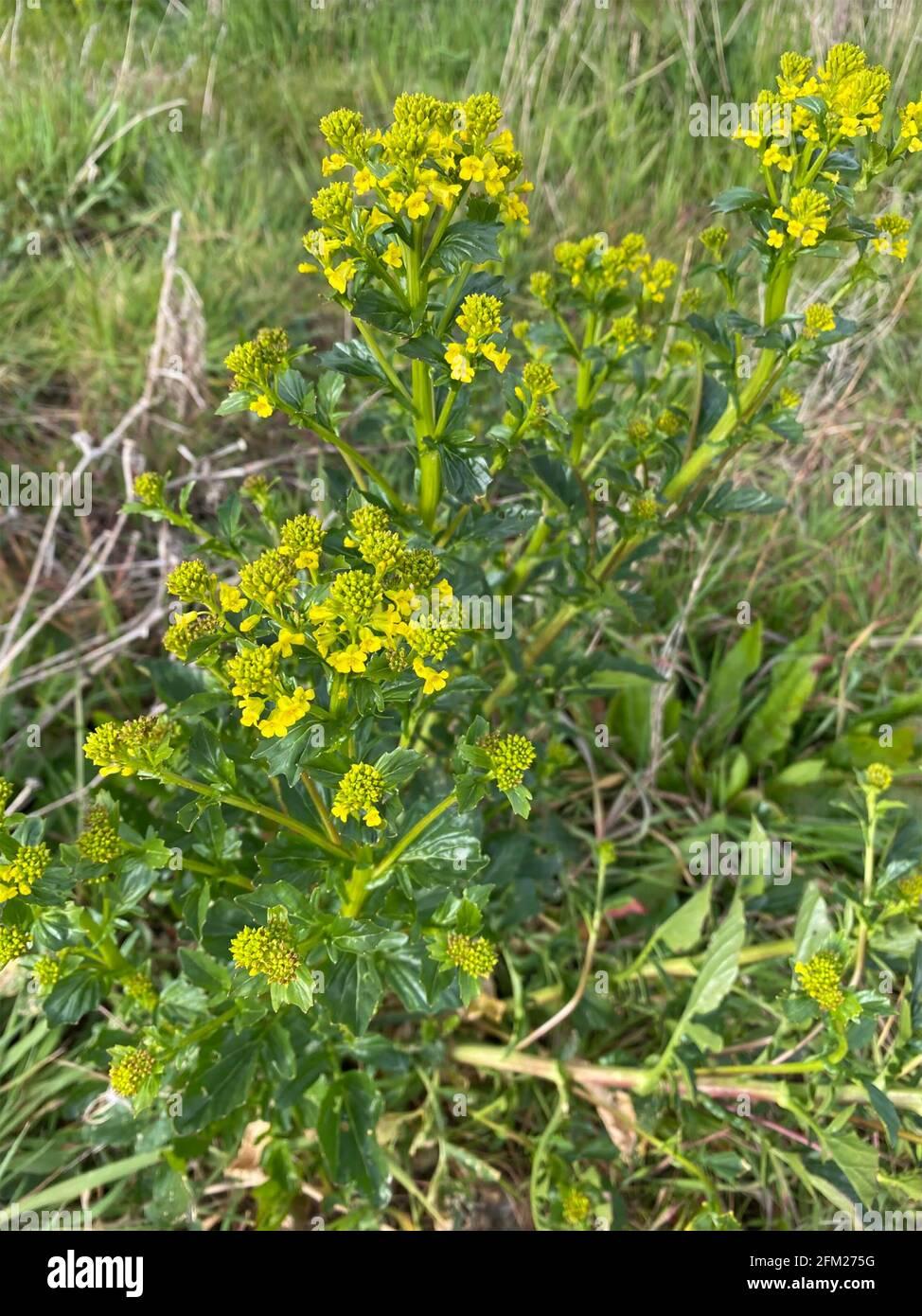 BITTERCRESS Barbarea vulgaris Hierba Bienal.Photo: Tony Gale Foto de stock
