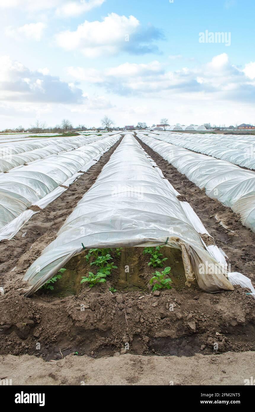 Túneles de invernadero hileras de una plantación de papa cubiertas con una película de plástico. Tecnologías agrícolas para reducir el riesgo de congelación y desgaste de los cultivos Foto de stock
