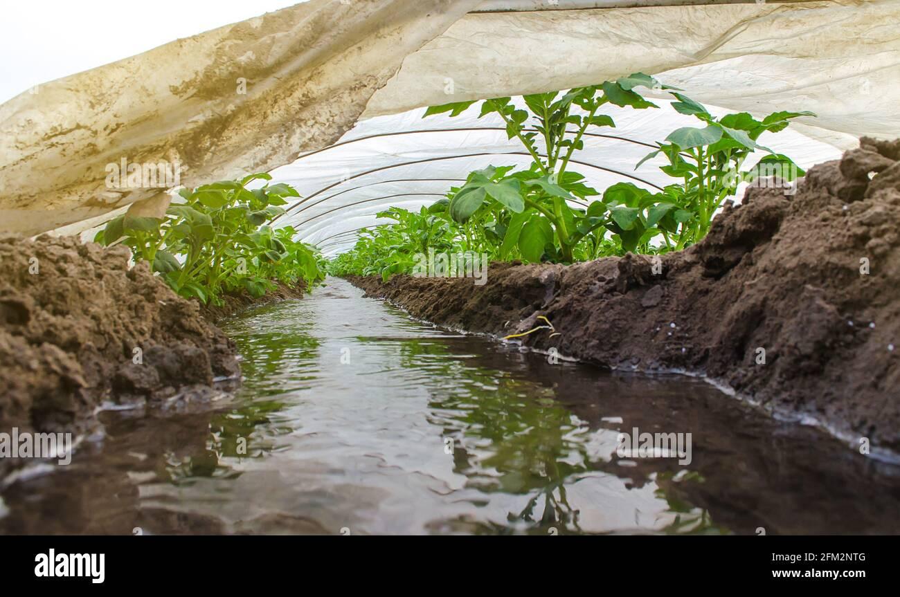 El agua fluye a través de los canales hacia un túnel de invernadero con una plantación de matorrales de papa. La industria agrícola. Cultivo de cultivos a principios de la primavera con cultivo de gree Foto de stock