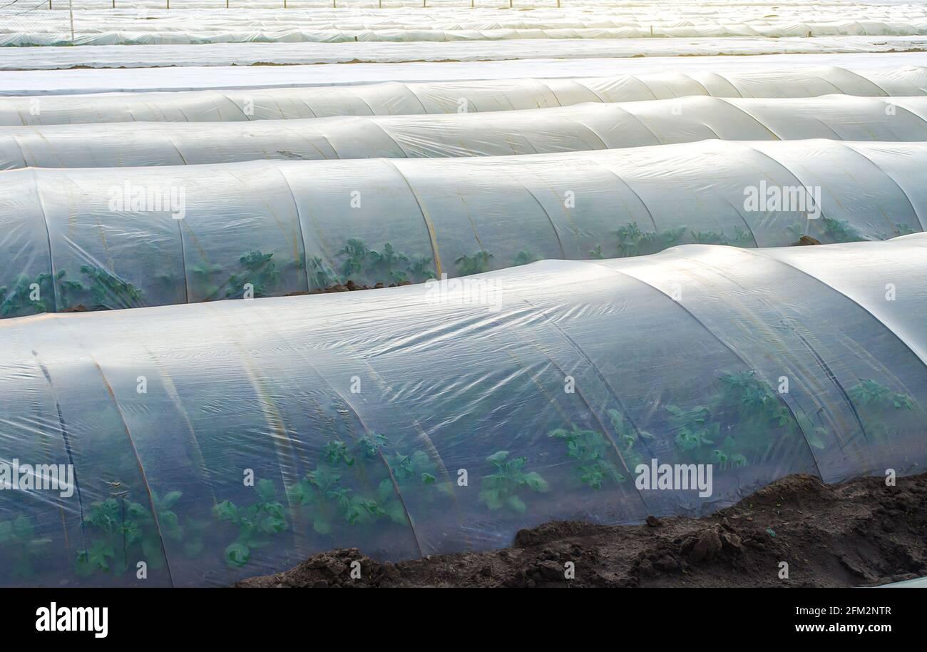 Matorrales de patata en una plantación agrícola cubierta por hileras de túneles de película plástica agrícola. Crear un efecto invernadero. Control climático en campo agrícola. Gro Foto de stock