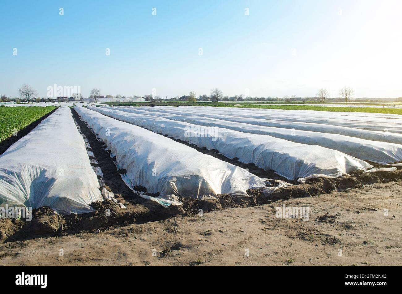 El campo de plantación de papa de granja está cubierto con tejido agrícola no tejido de espunbond. Tecnologías modernas en la agricultura. Las patatas anteriores, el cuidado de un Foto de stock