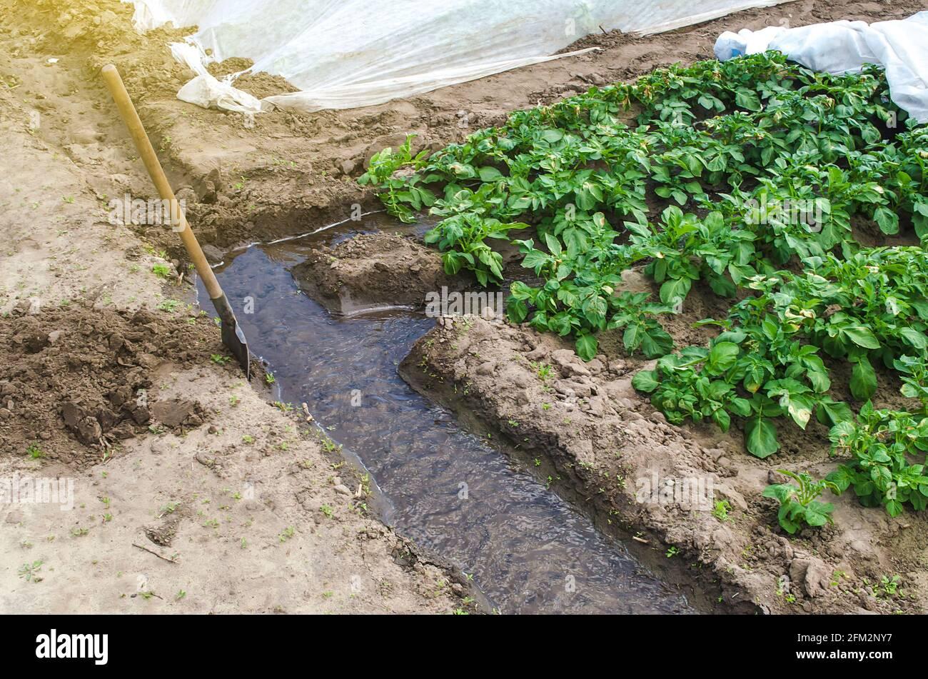 El agua fluye a través de un canal de riego hacia las hileras de una plantación de papa. La industria agrícola. Cultivo de cultivos a finales de primavera utilizando invernaderos. FA Foto de stock