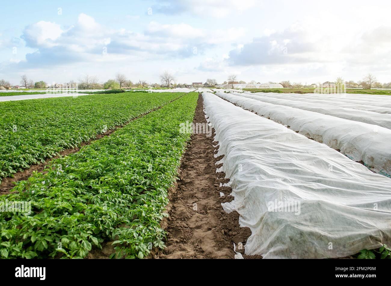 Plantación de papa bajo fibra agrícola y en campo abierto. Endurecimiento de plantas de matorrales de patata a finales de primavera. Crear un efecto invernadero para el coche Foto de stock