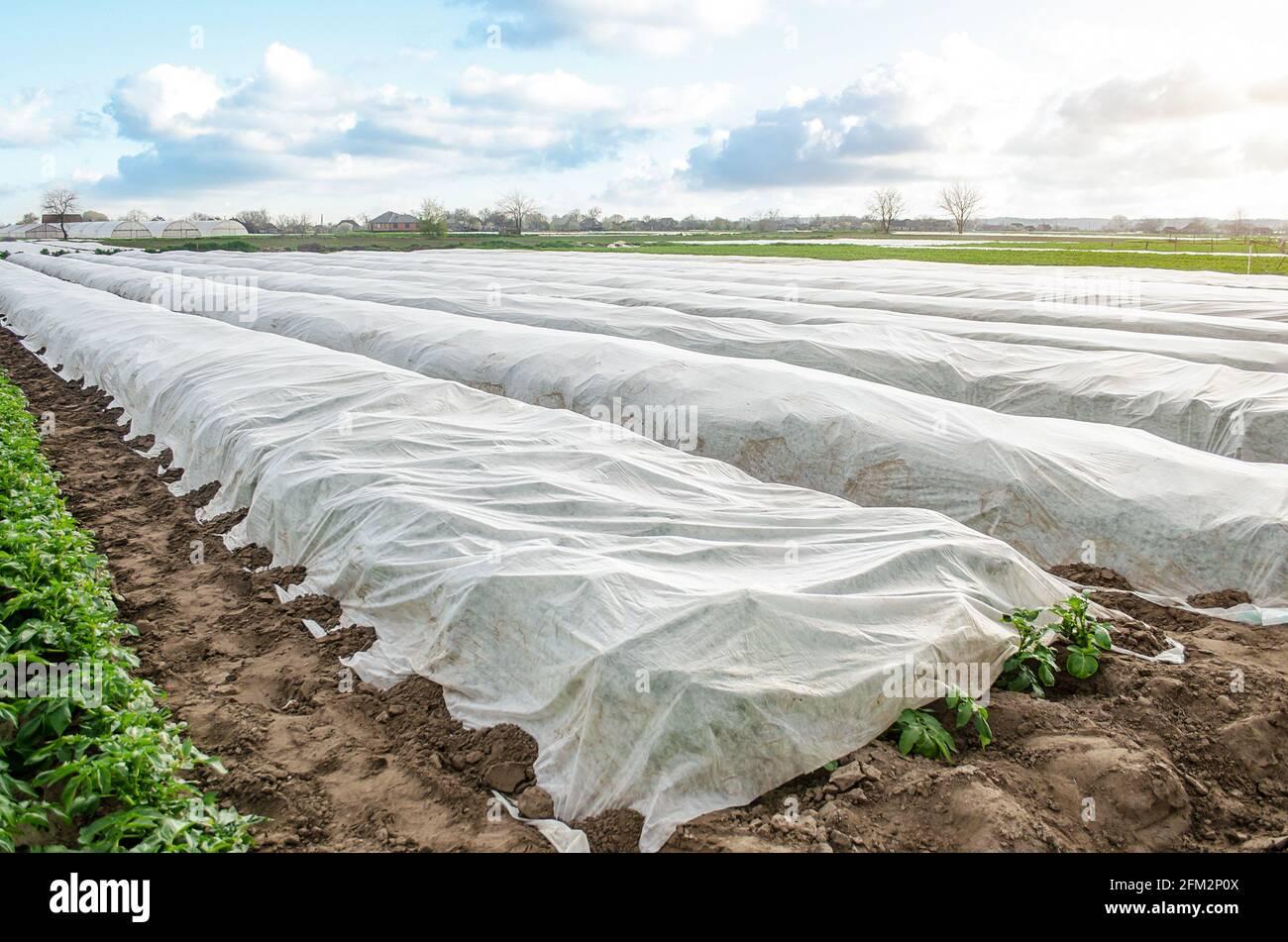 Plantación de papa cubierta por fibra blanca agrícola para protección contra bajas temperaturas nocturnas. Spunbond spunlaed tela agrícola no tejida. M Foto de stock