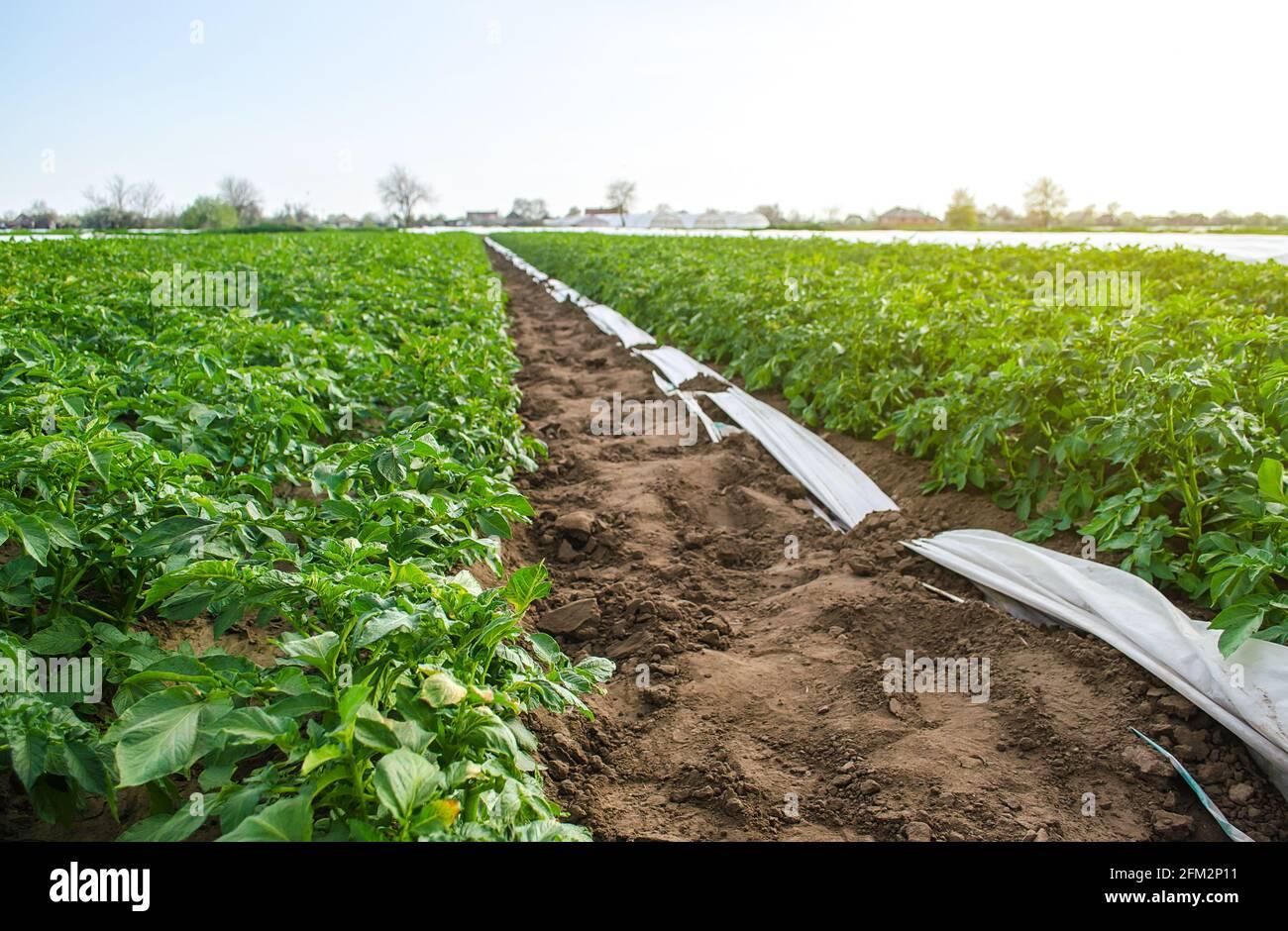 Variedad Riviera arbustos de papa en campo de plantación. Cultivo de verduras de alimentos. Olericultura. Agricultura agrícola en terreno abierto. Agroindustria. Soporte para Foto de stock