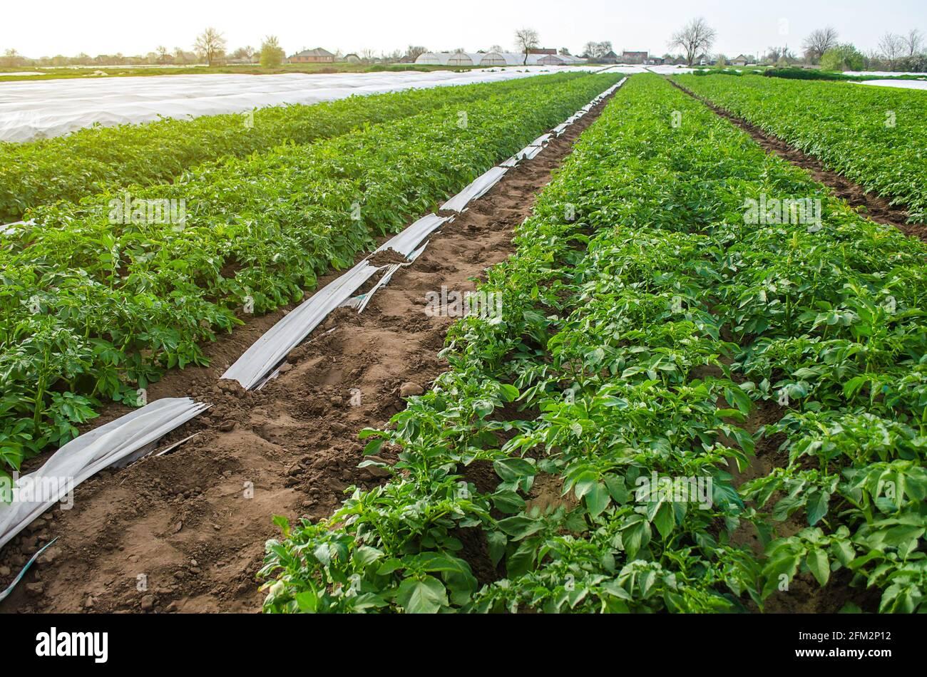 Variedad Riviera arbustos de papa en campo de plantación. Cultivo de verduras de alimentos. Olericultura. Agricultura agrícola en terreno abierto. Agroindustria. Subgrupo de agricultores Foto de stock
