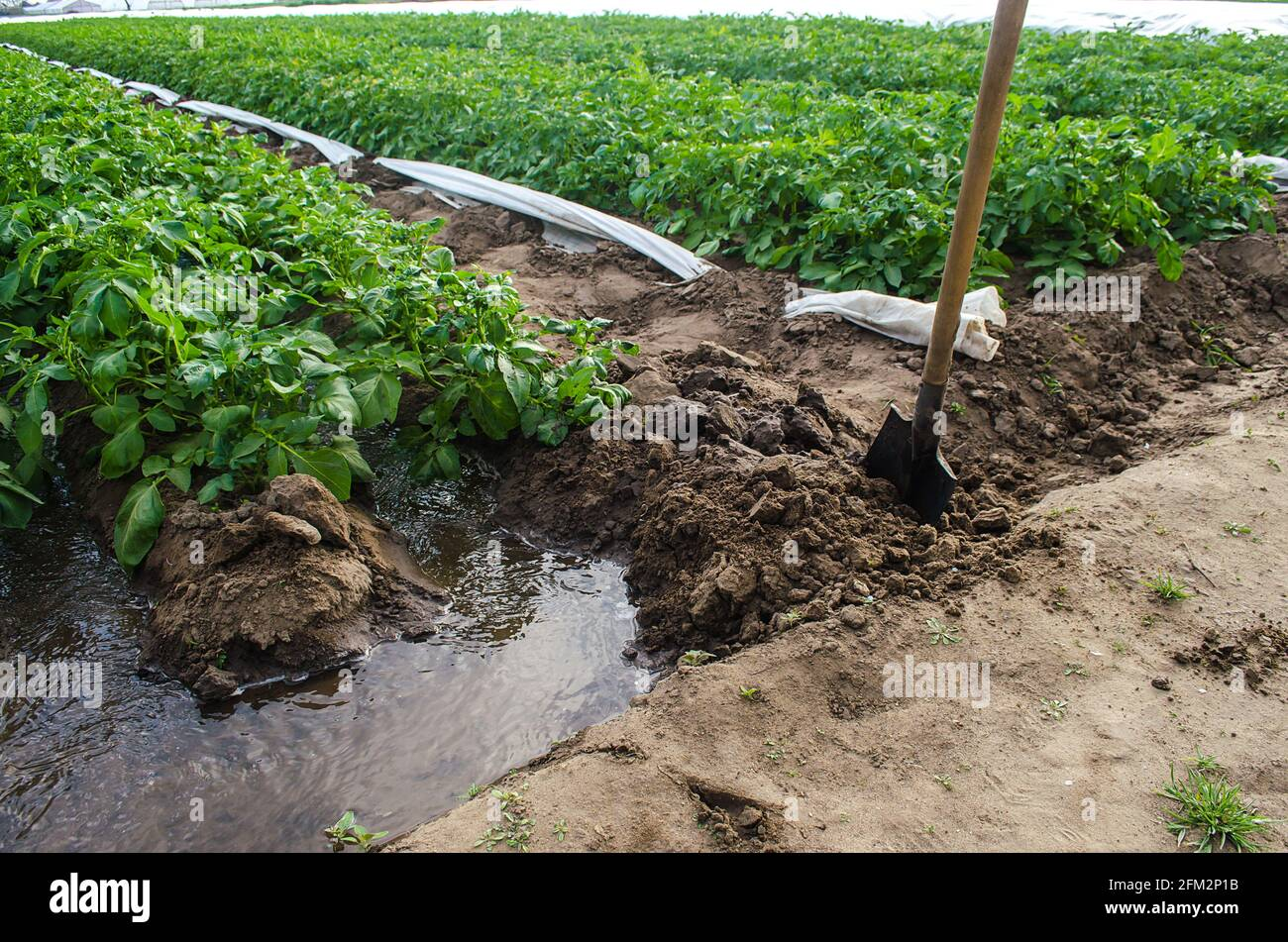 Una corriente de agua a través de un canal arrancado por una pala irriga una plantación de matorrales de patata. La industria agrícola. Cultivando cultivos a principios de primavera Foto de stock