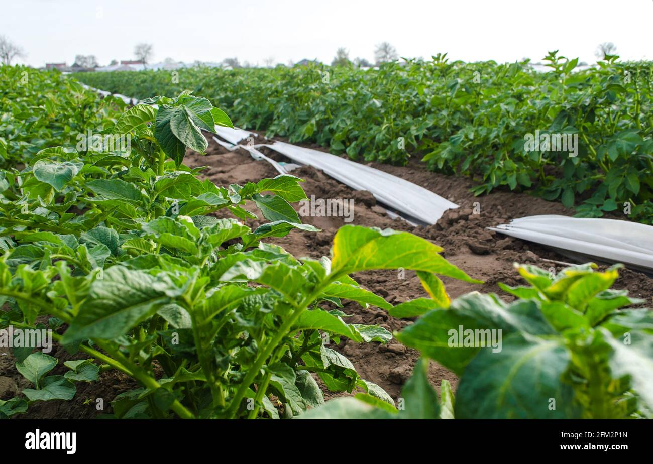 Variedad Riviera Cascadas de patata en campo de plantación. Cultivo de verduras de alimentos. Olericultura. Agricultura agrícola en terreno abierto. Agroindustria. Foto de stock