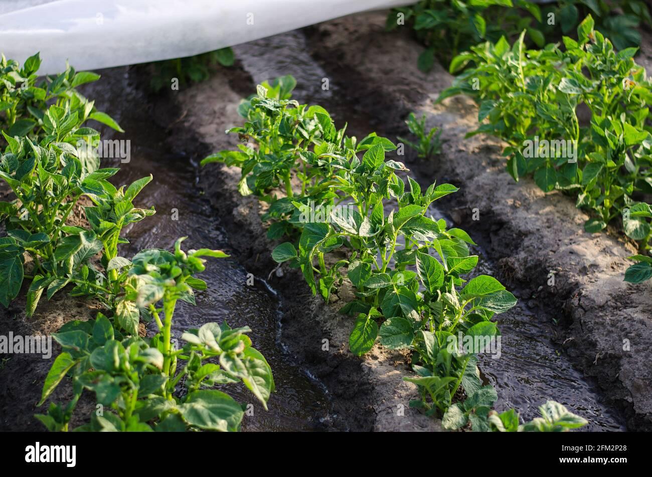 Corrientes de agua entre hileras de arbustos de papa cubiertos de fibra agrícola. Cultivo de cultivos a principios de primavera utilizando invernaderos. Agricultura irrigati Foto de stock