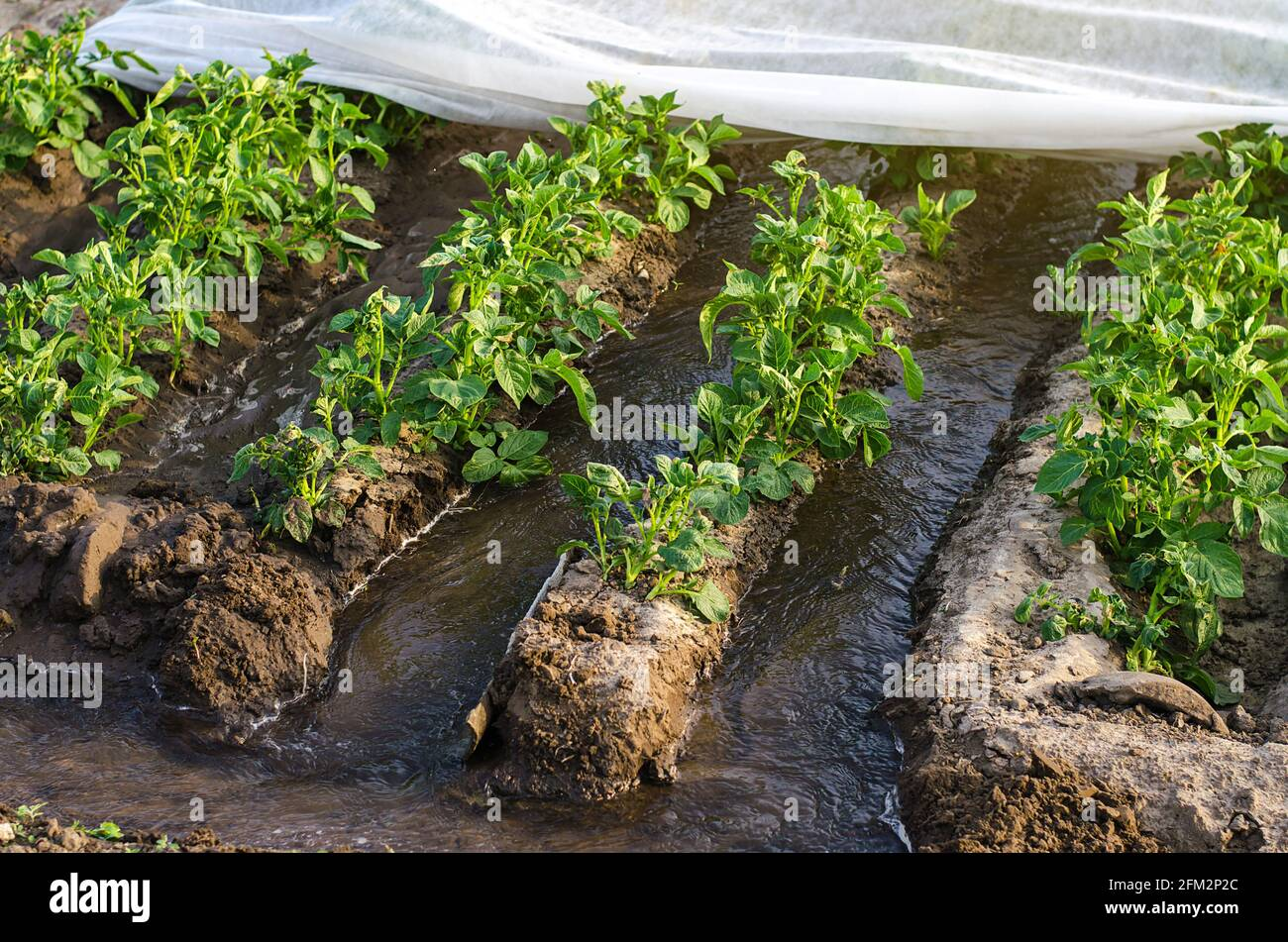 El agua fluye a través de los canales hacia un túnel de invernadero con una plantación de matorrales de papa. La industria agrícola. Sistema de riego agrícola. Cultivos Foto de stock