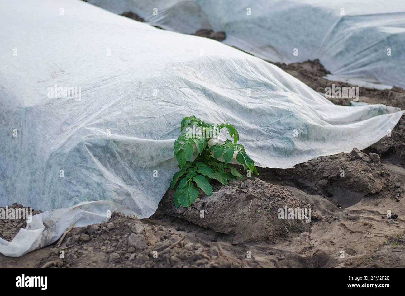 Un arbusto de patata joven está saliendo de debajo de la tela sin tejer de la agrofibra del spunbond. Tecnologías modernas en la agricultura. Patatas anteriores, cuidado Foto de stock