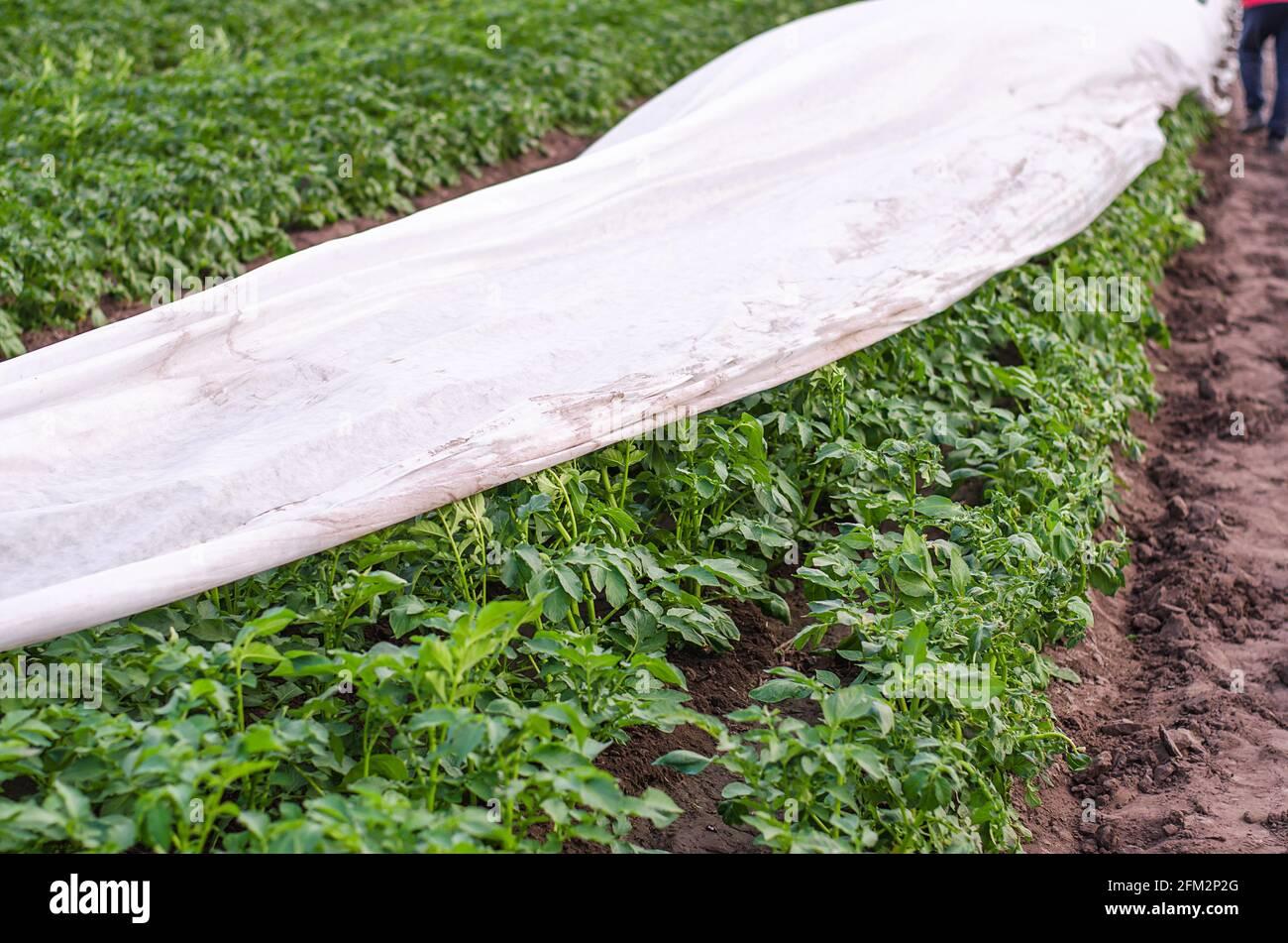 Hilera de plantación de papa parcialmente cubierta con agrofibra de espunbond. Tecnologías modernas en la agricultura. Protección de las plantas contra las heladas nocturnas. Retirada de la p Foto de stock